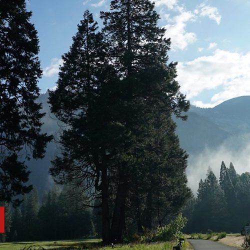 What's killing Yosemite's trees?